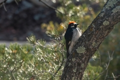 Acorn Wookpecker