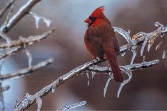 Cardinal & Ice