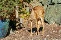 Fawn Deer Taken in Coupeville Washington