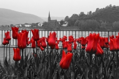 Red Tulips on Black-White Rhein River Scene