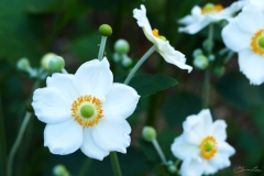 White Anenome Flowers