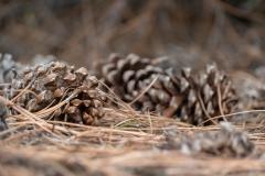Pine Cones - 2