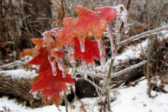 Icy Red Leaves